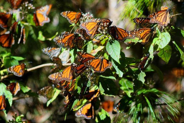 temporada de mariposa monarca michoacán