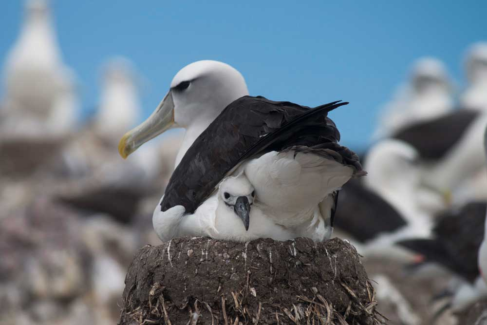 Albatros con su cría